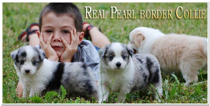 Real Pearl Border Collie kennel